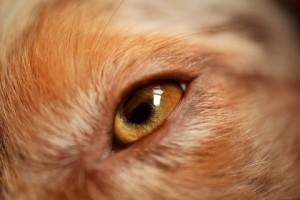 ojo dog