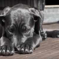 ¿Se sienten culpables los perros?